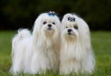 Understanding the Maltese Dog Breed